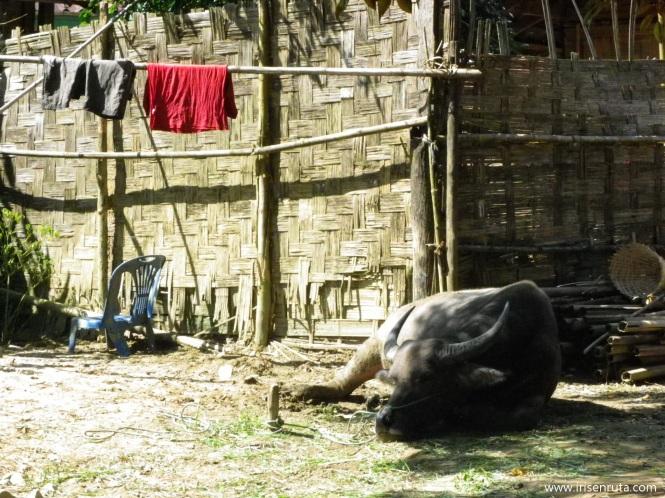 Buffalo descansando. Vang Vieng